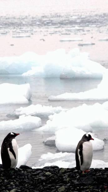 <p>Pinguins na Baía do Almirantado, proximo à Estação do Brasil na Antártica Comandante Ferraz (2004)</p>
