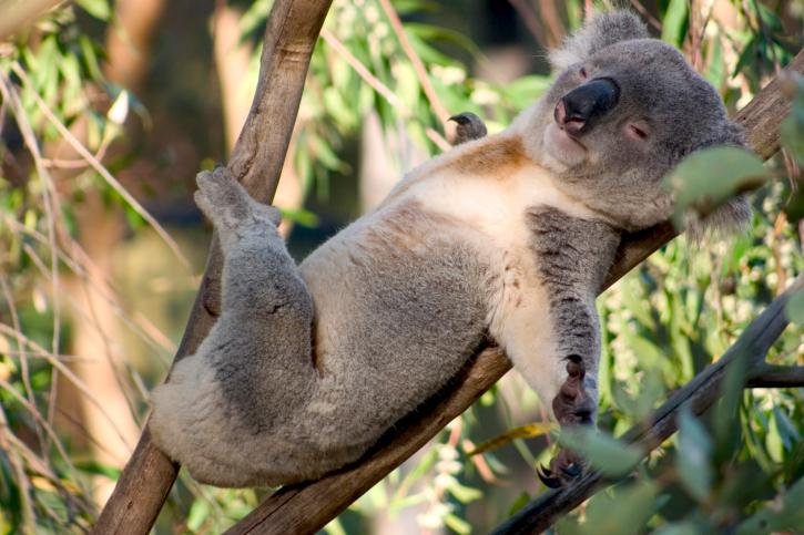 <p>O primeiro lugar ficou com os coalas. Um estudo publicado este ano sugere que eles abraçam os galhos das árvores para resfriar seu organismo</p>