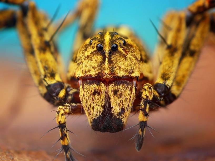 <p>Algumas espécies de aranhas saltadoras são muito parecidas com formigas e se camuflam dessa forma. As grandes quelíceras são pinças usadas para cortar a comida</p>