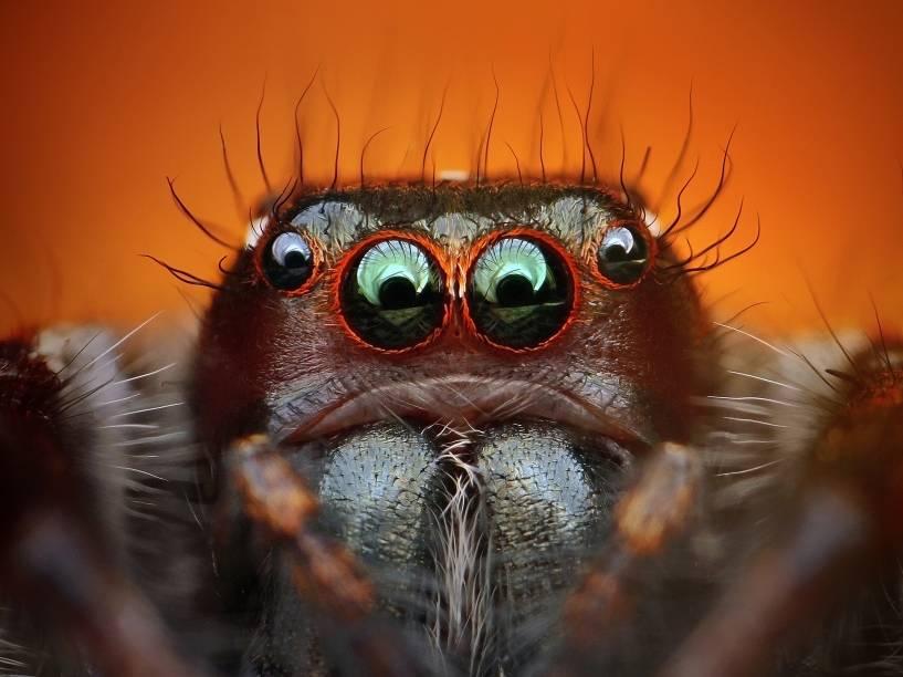 <p>Frequentemente, as aranhas-caçadoras ficam tão grandes quanto as tarântulas</p>