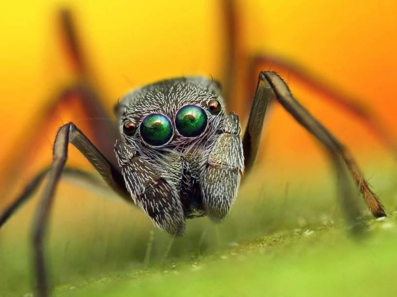 <p>Aranhas saltadoras vão à caça, em vez de capturar a presa na teia. Elas têm excelente visão</p>