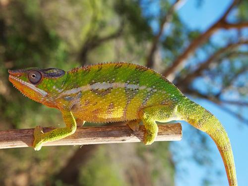 <p>Com o estudo foi possível observar a relação entre fatores geológicos e genealógicos na variação de cores nos camaleões</p>