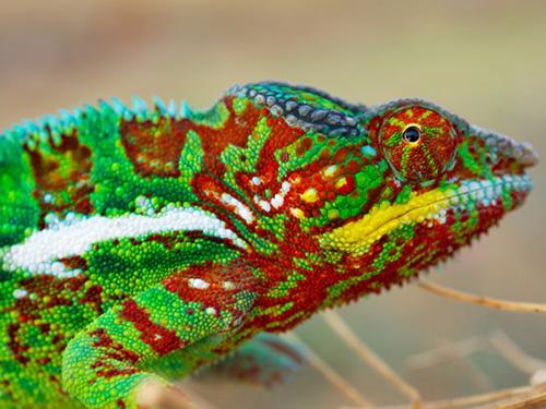 <p>Os camaleões usam as cores como proteção contra predadores, mas a diversidade de cores que existe em Madagascar surpreendia os cientistas</p>