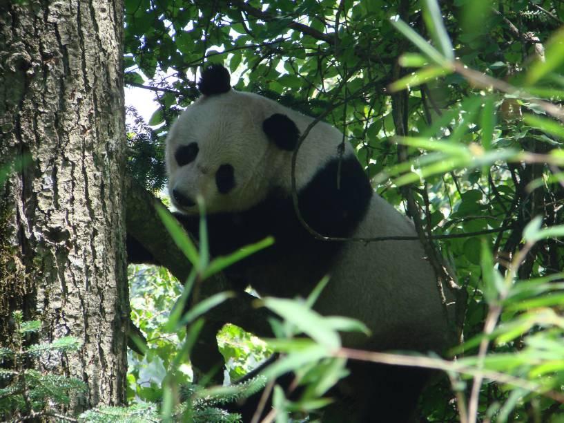 <p>Pesquisadores da Academia Chinesa de Ciências de Pequim mediram o gasto energético diário de cinco pandas cativos e quatro selvagens</p>