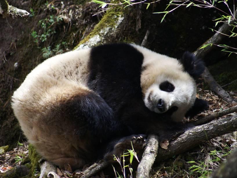 <p>GPS instalados nos pandas revelaram que eles são muito pouco ativos e caminham pouco</p>