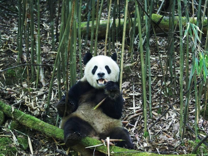 <p>As análises dos cientistas revelaram que os pandas gastam apenas 38% da energia esperada para mamíferos terrestres com a mesma massa. É um gasto semelhante ao do bicho-preguiça</p>