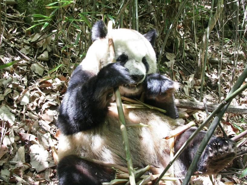 <p>De acordo com o estudo da Scienceo baixo gasto energético ajuda a explicar como o panda consegue viver com uma dieta baseada no bambu, que oferece poucos nutrientes</p>