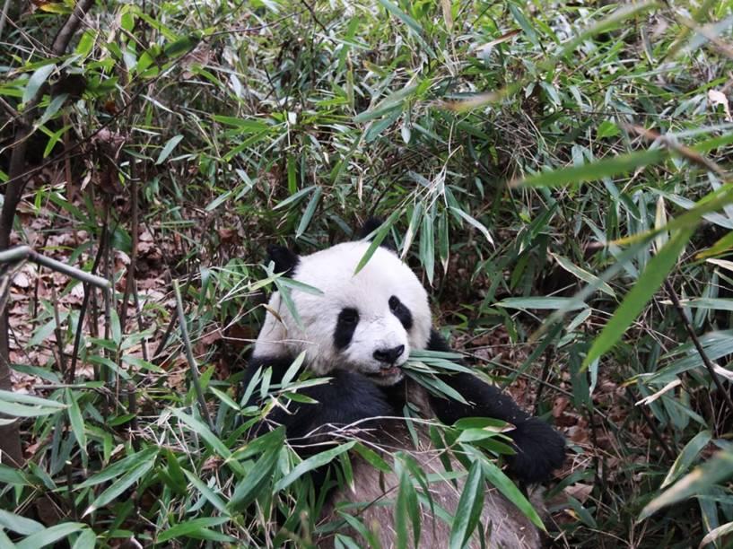 <p>Os pandas costumam passar 14 horas por dia mastigando cerca de 15 quilos de bambu</p>