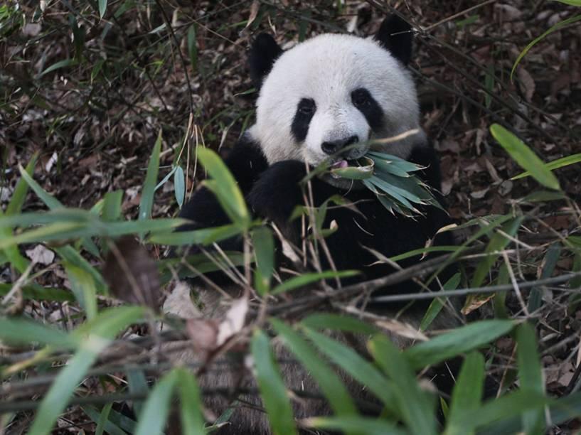 <p>Os pandas têm cérebro, fígado e rim menores que outros ursos, o que faz com que eles gastem pouca energia</p>
