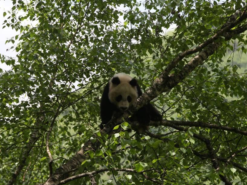 <p>A atividade da tireoide do panda é comparável à do urso negro em hibernação, o que o deixa bastante preguiçoso</p>