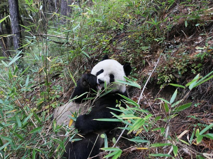 <p>As análises do DNA dos ursos panda revelaram uma variação genética no gene DUOX2 que, em humanos, provocaria a o hipotireoidismo, doença relacionada à baixa vitalidade</p>