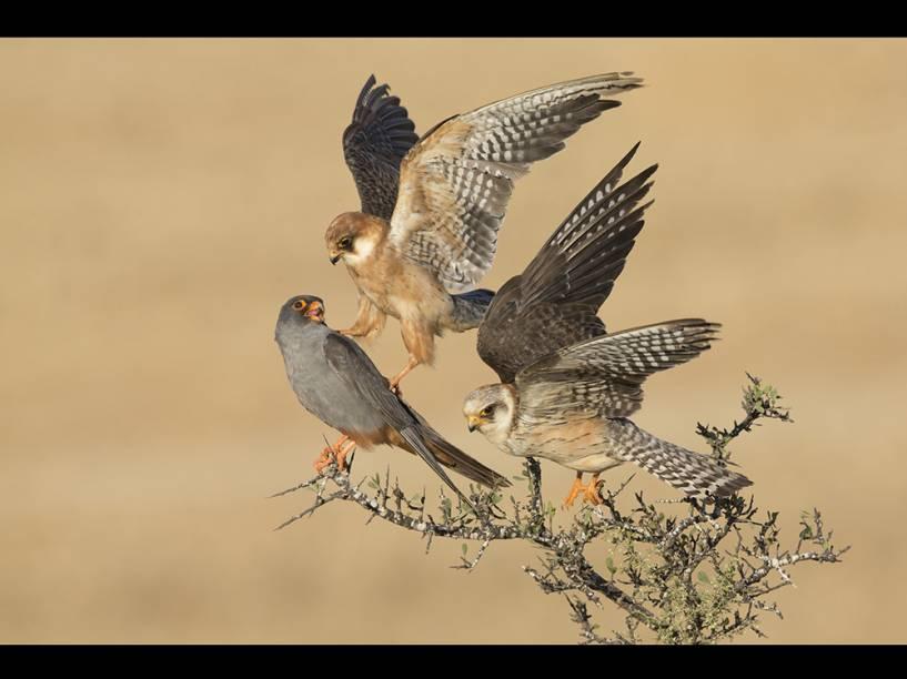 <p>Na categoria 'Pássaros', o israelense Amir Bem-Dov foi o vencedor com um retrato dos falcões-pés-vermelhos.</p>