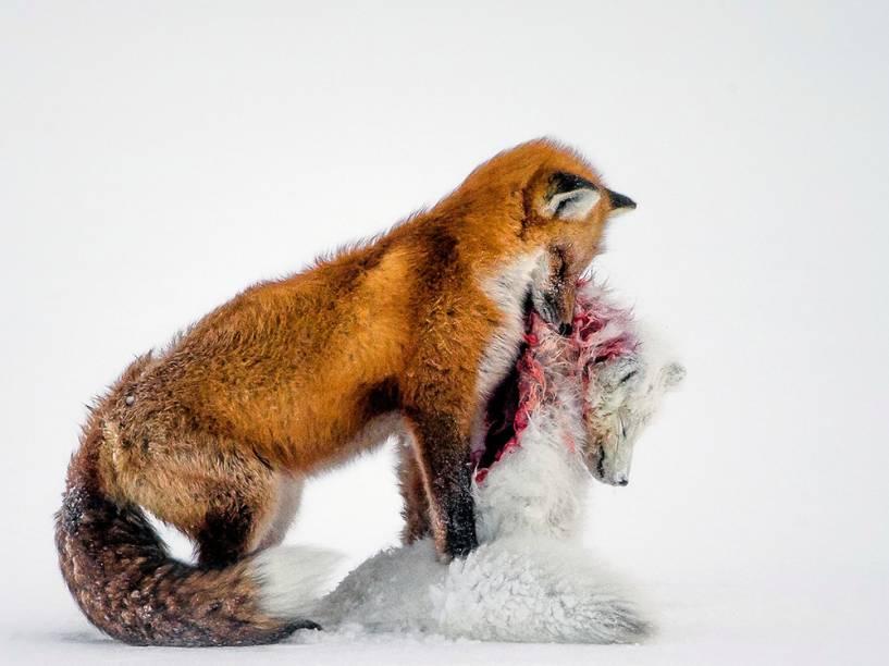"""<p>A vencedora da categoria principal foi a foto """"A tale of two foxes"""" (tradução livre, """"O conto de duas raposas""""), do fotógrafo amador canadense Don Gutoski. A imagem foi capturada no Parque Nacional de Wapusk, na Baía de Hudson (Canadá).</p>"""