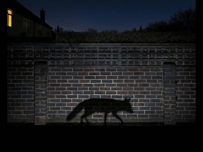 <p>O inglês Richard Peters capturou a sombra perfeita de uma raposa na foto 'Shadow walker', vencedora do prêmio na categoria 'Urbana'</p>