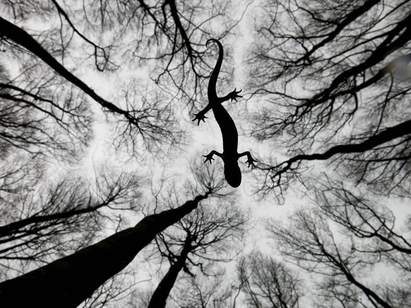 <p>A imagem do holandês Edwin Giesbers foi a vencedora da categoria 'Anfíbios e Réptéis'. A foto 'Still life' (tradução livre, 'Natureza morta') retrata um tritão-de-crista – espécie de salamandra - na superfície de um rio.</p>