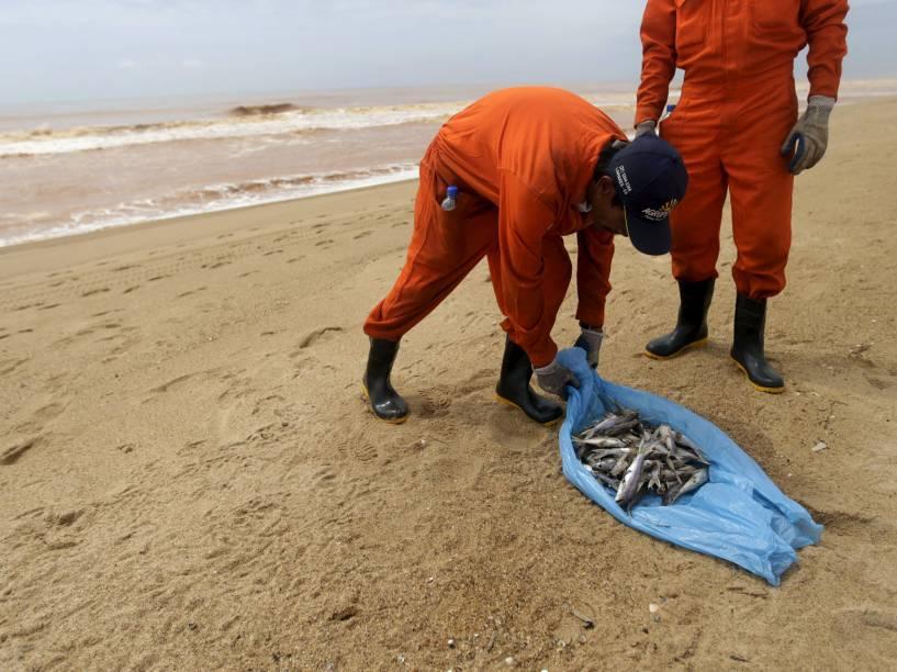 Pescador local trabalhando para uma empresa contratada da Samarco remove peixes mortos na praia de Povoação, no Espírito Santo, inundada pela lama de rejeitos da barragem da mineradora Samarco