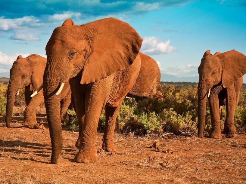 <p>A cada ano, 8% da população de elefantes africanos que resta no continente é vítima de caçadores ilegais. Nativo de 37 países, o elefante é vítima do desejo pelo marfim, muito usado em joias e artefatos religiosos.</p>