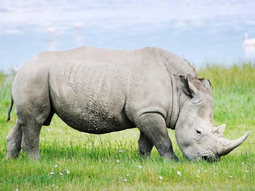 <p>Na natureza, o rinoceronte, seja o negro ou o branco, não tem nenhum predador natural além do próprio homem. Além da caça em busca de seus chifres, a espécie também perdeu espaço de seu habitat para o desenvolvimento de cidades.</p>