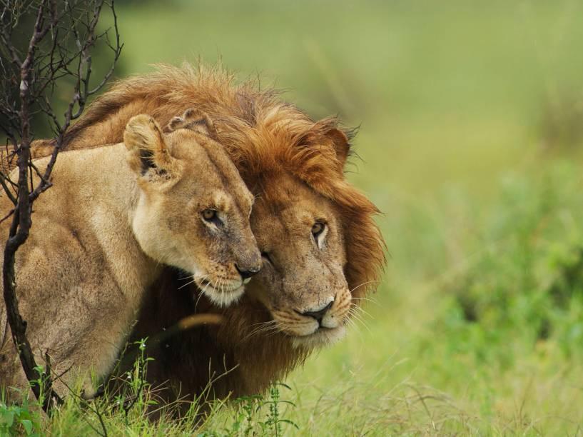 <p>Declarado como vulnerável desde 1996, o leão africano já foi regionalmente extinto em sete países. A perda de seu habitat natural para o homem fez com que a espécie se tornasse uma presa fácil para os fazendeiros.</p>