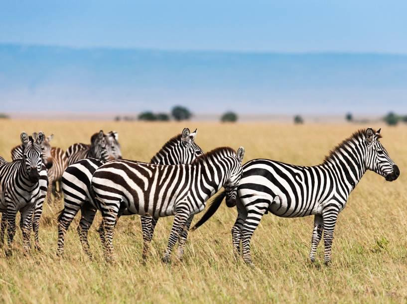 <p>Endêmicas de 15 países, as zebras africanas são muito procuradas por caçadores que vendem as suas peles. Elas também perderam espaço de seu habitat natural para o homem.</p>