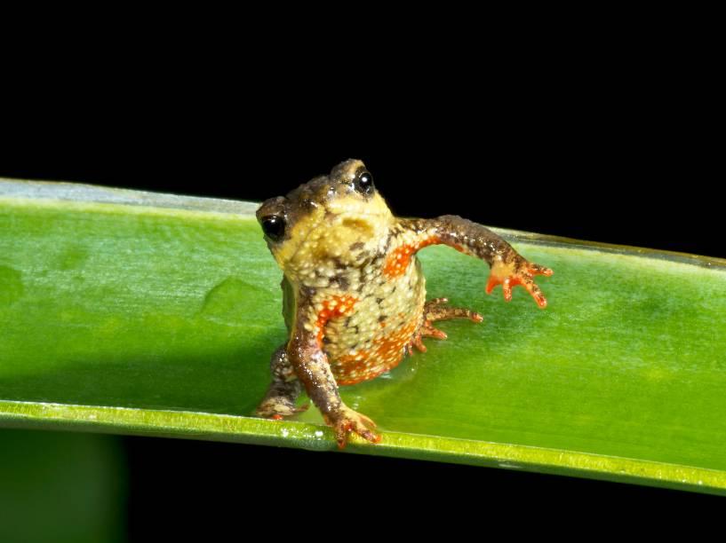"""<p>Sapo da espécie """"Melanophryniscus biancae"""", descoberto na Mata Atlântica brasileira, e já considerado em risco de extinção</p>"""
