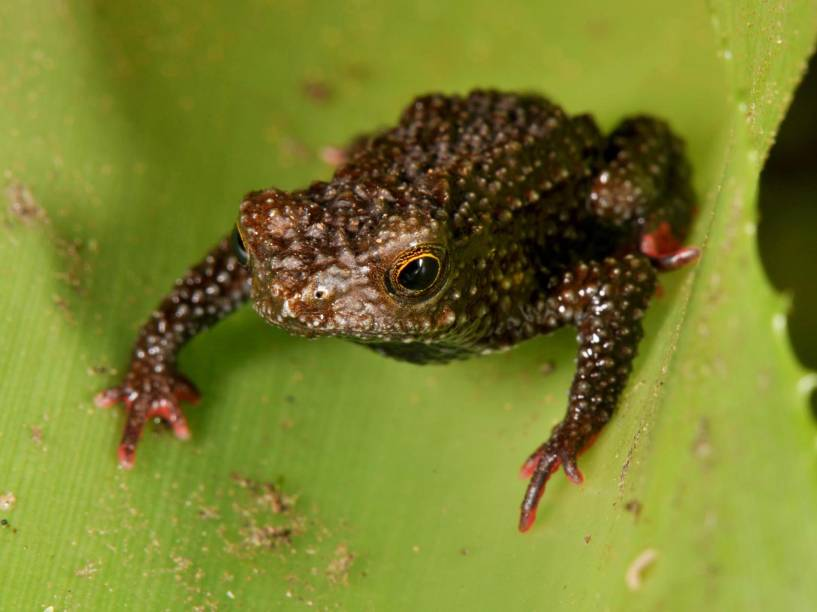 "<p>Pequeno sapo da espécie ""Melanophryniscus milanoi"".</p>"