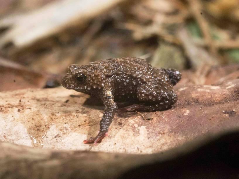 """<p>Espécie """"Melanophryniscus milanoi"""", descoberta por equipe de pesquisadores brasileiros e argentinos</p>"""