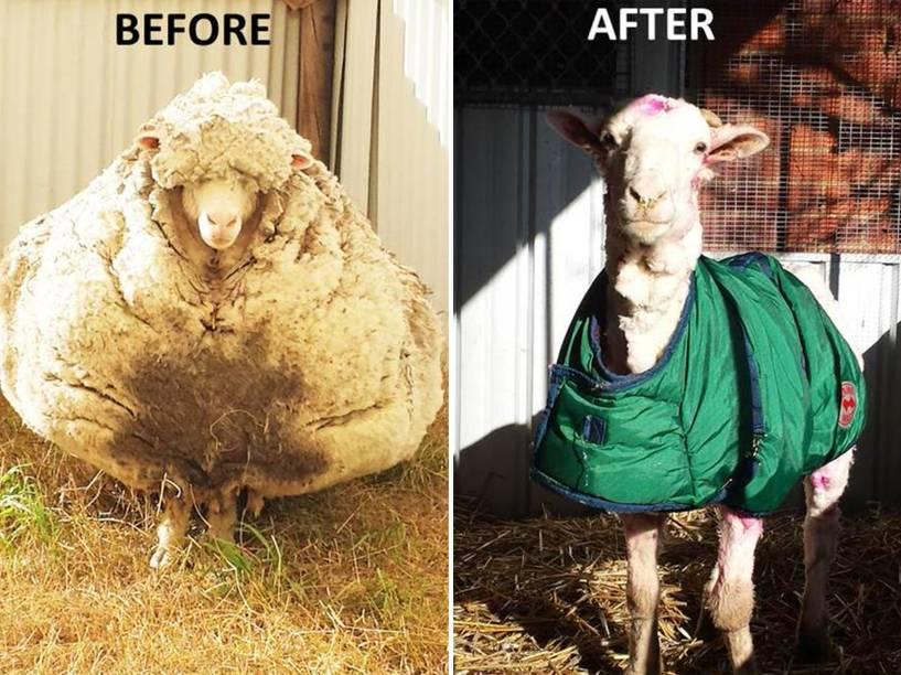<p>Antes e depois de Chris, o carneiro com pelo gigante encontrada nos arredores de Canberra, na Austrália, é tosquiada - 03/09/2015</p>