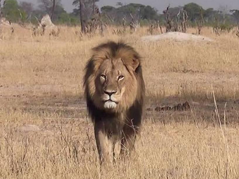<p>O leão Cecil, a principal atração do parque Hwange, no Zimbábue</p>