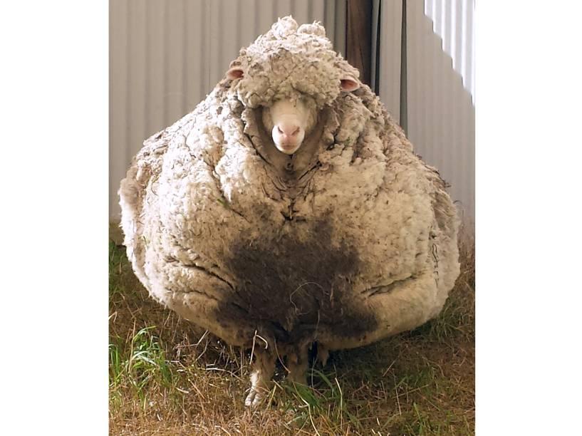 <p>Carneiro encontrado nos arredores de Camberra na Austrália com o pelo quase cinco vezes maior que o normal</p>