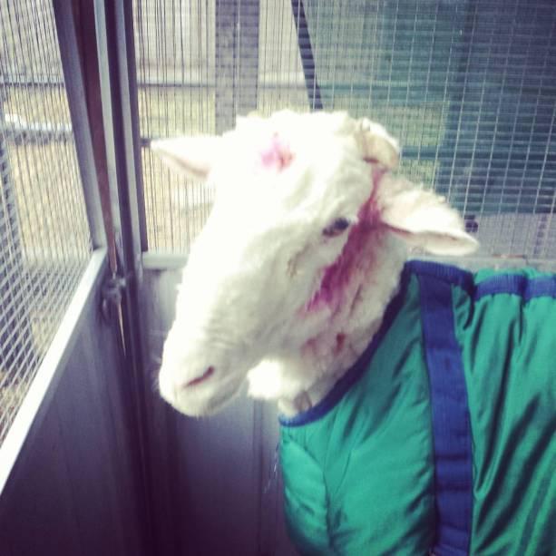<p>Foram retirados 40 quilos de lã do carneiro Chris, encontrado na Austrália</p>