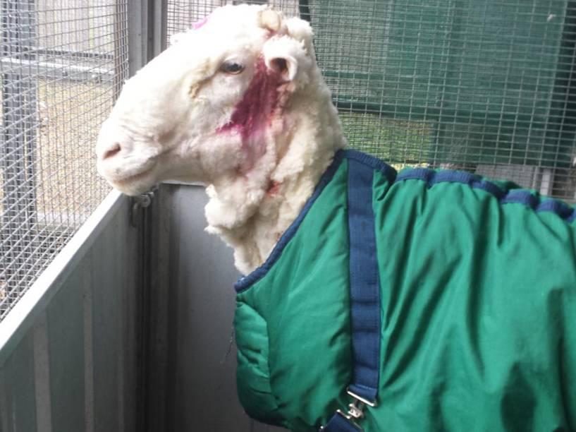 <p>Chris, o carneiro com pelo gigante encontrado nos arredores de Camberra, na Austrália, é tosquiado - 03/09/2015</p>