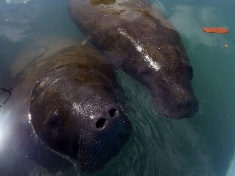 <p>O peixe-boi-marinho, um dos mamíferos aquáticos em maior risco de extinção no mundo, foi muito caçado no litoral brasileiro. Hoje, calcula-se que existam apenas 500 exemplares.</p>