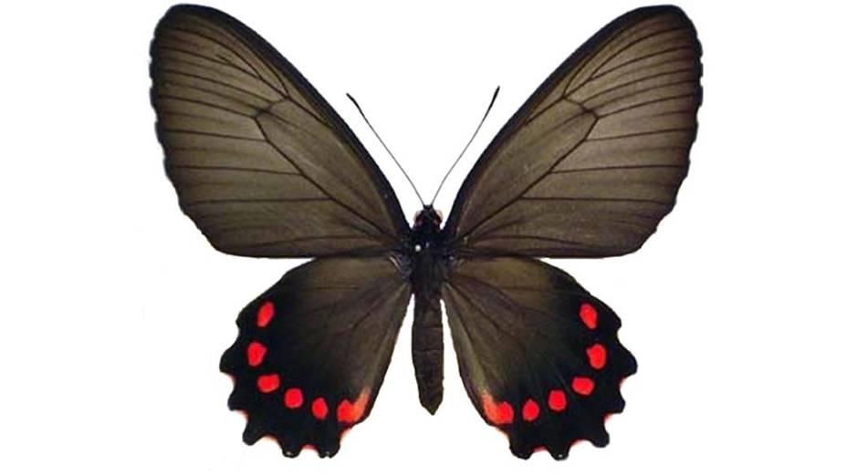 Borboleta Parides burchellanus