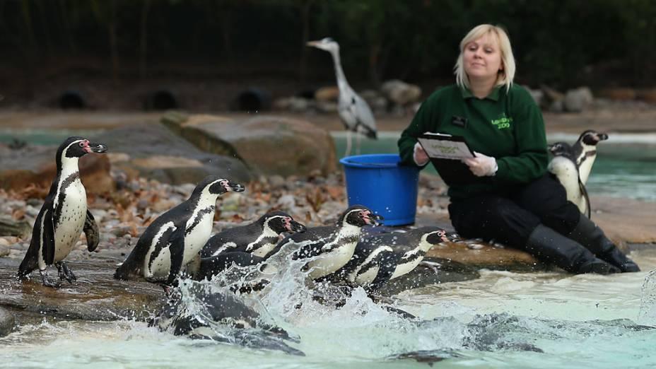 <p>Tratadora ao lado de pinguins durante a pesagem anual no Zoológico de Londres</p>