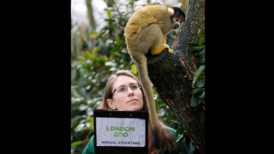 <p>Tratador ao lado de macaco-esquilo durante a pesagem anual no Zoológico de Londres</p>
