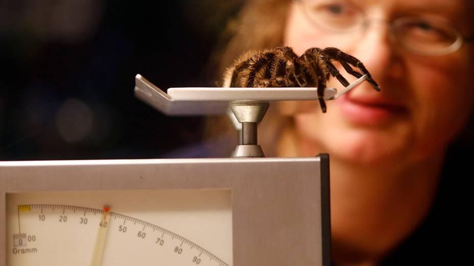 <p>Aranha na balança durante pesagem no Zoológico de Hellabrunn em Munique</p>