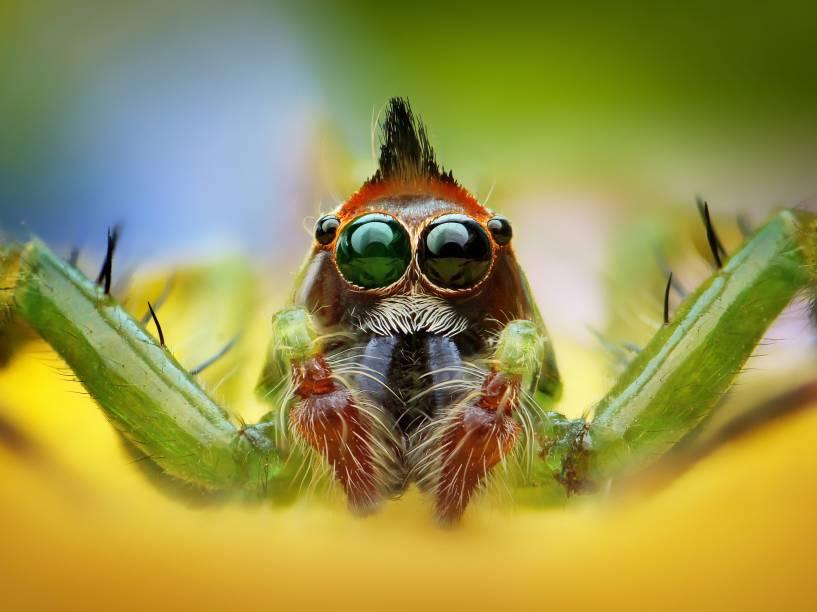 <p>Existem mais de 5.000 aranhas saltadoras, como a da foto, representando a maior parte das famílias das aranhas. Elas estão em todas as partes do mundo e podem ser encontradas até no Monte Everest, na Cordilheira do Himalaia</p>
