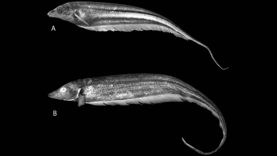<p>O peixe elétrico Archolaemus ferrerai foi encontrado no Rio Mucajaí, em Roraima. Recém-descoberto, o animal já está ameaçado — esse peixe ocorre exclusivamente em cachoeiras ou corredeiras, alvos centrais das usinas hidrelétricas</p>