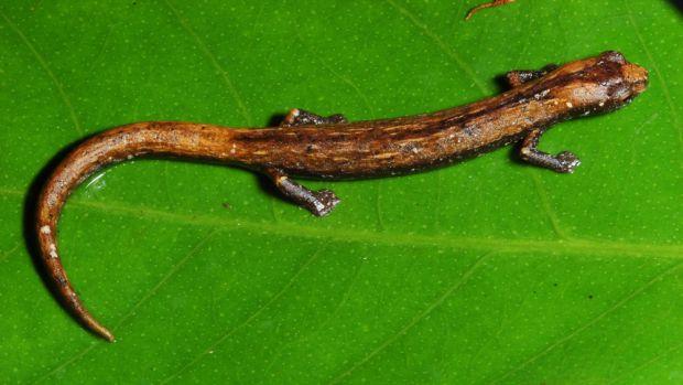 <p>A Bolitoglossa tapajonica é uma salamandra, animais que formam um grupo de anfíbios bem diversificado no hemisfério norte, mas pouco presente no hemisfério sul. Até recentemente, sabia-se de apenas uma espécie na Amazônia brasileira</p>