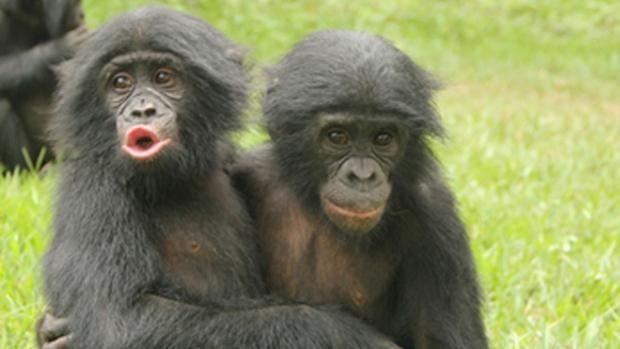 bonobo-20131014-original.jpeg