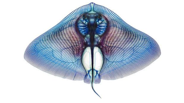 <p>Raia (Gymnura micrura) tingida para destacar sua estrutura interna</p>