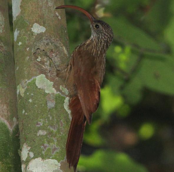 <p>O Campylorhamphus cardosoi foi descoberto após os pesquisadores notarem padrões diferentes em um grupo de aves ao longo do rio Xingu que se acreditava pertencerem à mesma espécie. O arapaçu-do-tapajós tem um formato de bico curioso, que o ajuda a encontrar pequenos insetos sob a casca de árvores e brotos de bambus</p>