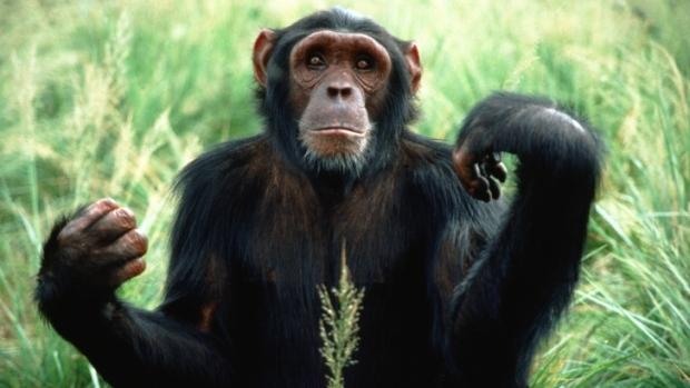 chimpanze-20120114-original.jpeg