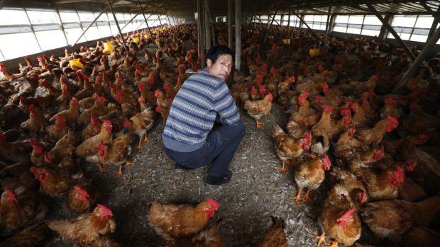 china-gripe-aves-20130804-original.jpeg