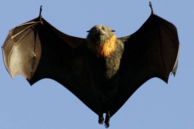ciencia-flying-fox-raposa-voadora-pteropus-giganteus-20130903-02-original.jpeg
