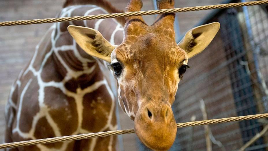 <p>A girafa de nome Marius, morta pelos veterinários do zoológico de Copenhague, na Dinamarca</p>