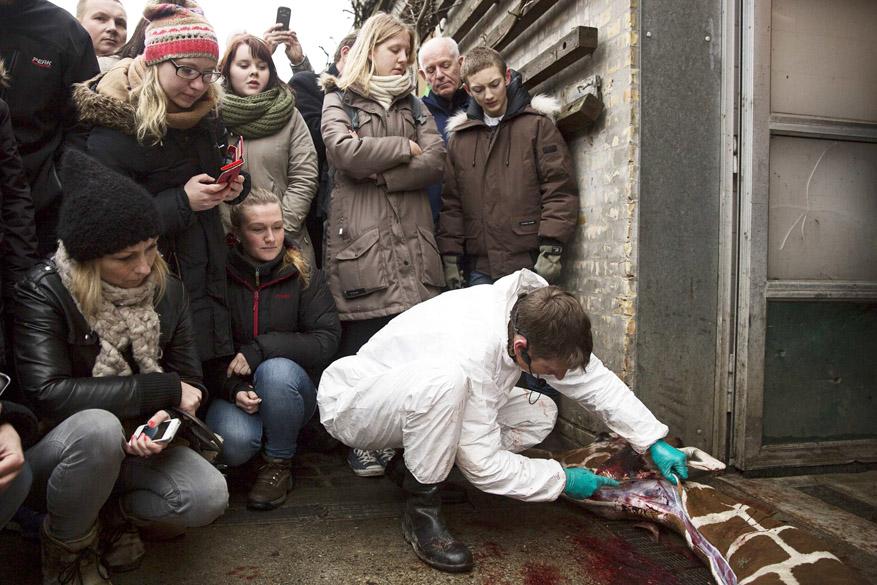 <p>Após ser sacrificada, os veterinários fizeram uma necropsia na girafa, que pôde ser assistida pelos visitantes</p>