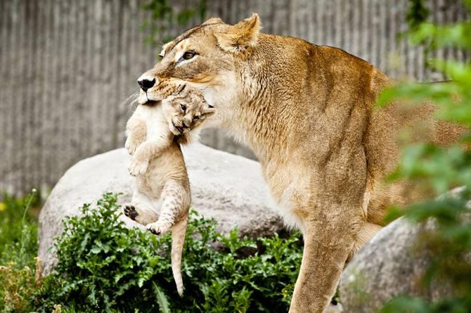 ciencia-leoes-zoo-copenhague-20140325-001-original.jpeg