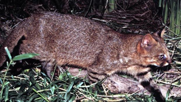 Gato-palheiro (Leopardus colocolo)